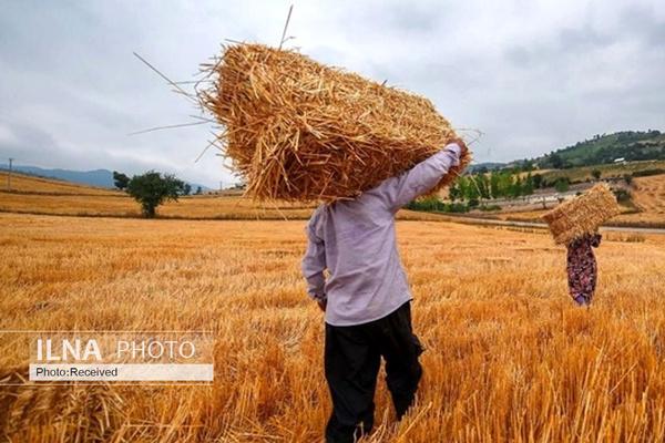 جولان دلالان در بازار گندم/ کشاورزان راغب به فروش گندم به دولت نیستند