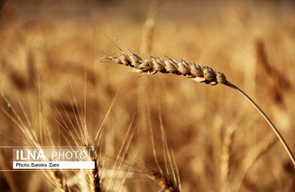 ۸۵ درصد گندم دیم کشور مکانیزه کشت میشود