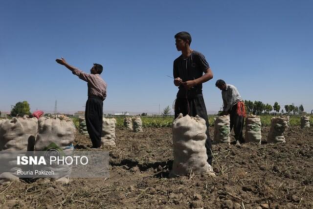 سرگردانی دومین تولید کننده سیب زمینی ایران