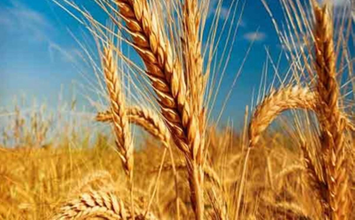 دولت به کشاورز خارجی یارانه میدهد / واردات گندم به قیمت ۶ هزار تومان