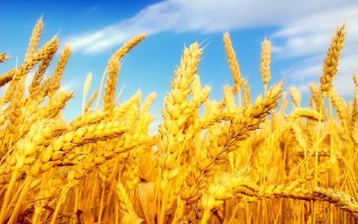 نرخ خرید تضمینی گندم برای سال زراعی آینده تعیین شد