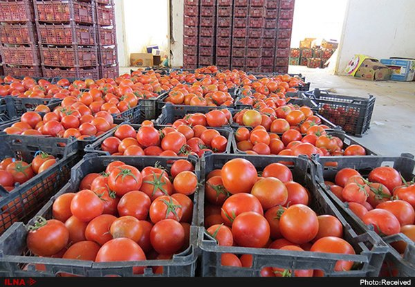 بازگرداندن دو کامیون محموله گوجه به دلیل خرابی از سوی عراقیها/ گوجهها سردخانهای بودند