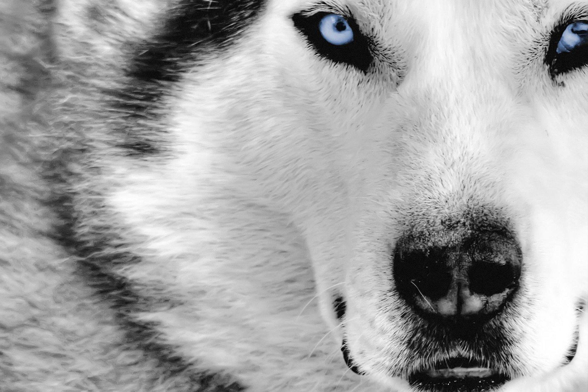 گرگهای بالغ هم مانند سگها به انسان وابسته میشوند