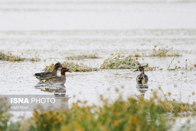 مرگ ۴۰۱ پرنده در تالاب میقان/ آنفلوآنزای فوق حاد پرندگان در مرغداریها گزارش نشده