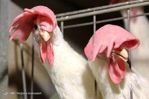 دستور رئیس جمهور به دو وزارتخانه برای کنترل قیمت مرغ