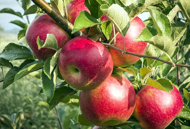 پیش بینی تولید بیش از ۴.۱ میلیون تن سیب در سال جاری