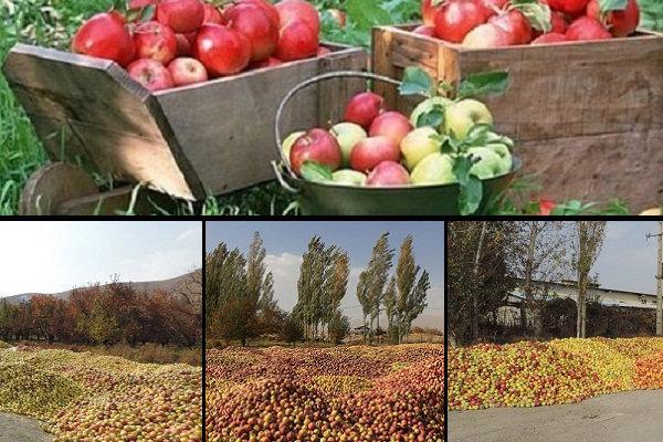 «قطب سیب ایران» چشمانتظار رفع موانع صادراتی/ صورتِ زرد سیب سرخ!