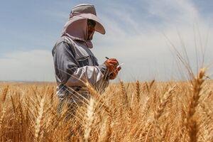کشاورزان در تعیین قیمت گندم مشارکت میکنند