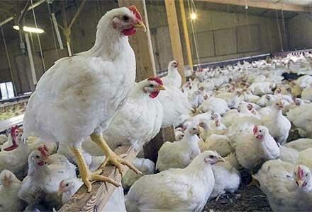 اسداللهنژاد: مرغداران در هر کیلو ۵ هزار تومان ضرر میکنند