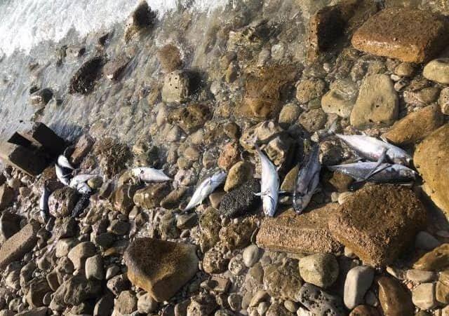 تلف شدن ماهیها در سواحل عسلویه