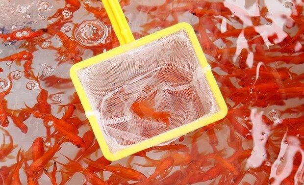 ماهی قرمز عامل انتقال کرونا نیست اما مراقب باشید
