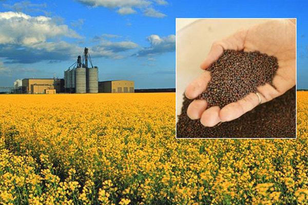 پیش بینی تولید ۴۰۰ هزار تن کلزا در سال زراعی جاری