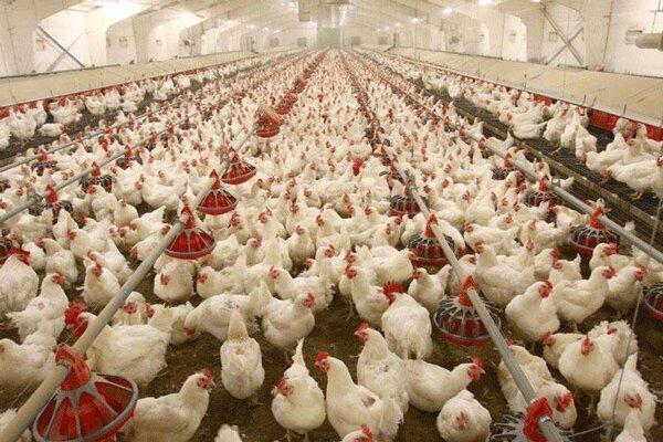 وضعیت توزیع مرغ در شب عید
