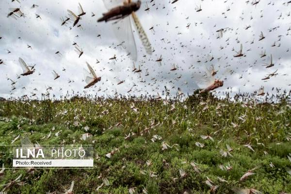 هجوم ملخهای گرسنه به باغات و مزارع قطعی است/ استان کردستان درگیر ملخ  بدون بال