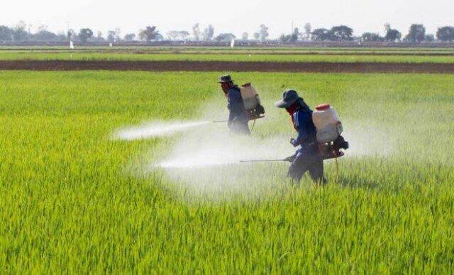 احتمال طغیان پورههای سن در مزارع به دلیل کاهش بارندگی ها