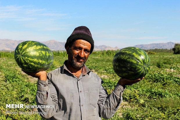 تداوم ورشکستگی کشاورزان جنوب کرمان/ جیب دلالان پر نمی شود