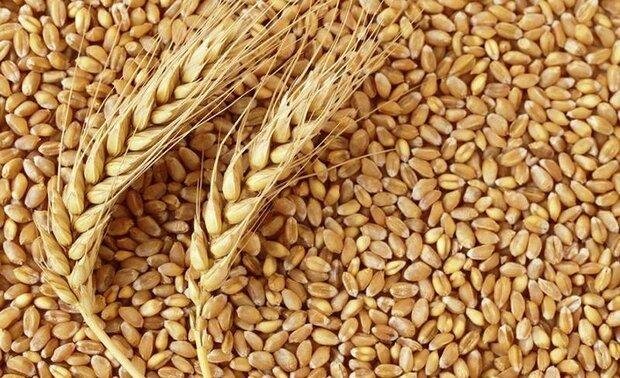 واردات گندم به ۲ برابر نرخ داخلی/ با تعیین قیمت مناسب از کشاورزحمایت شود