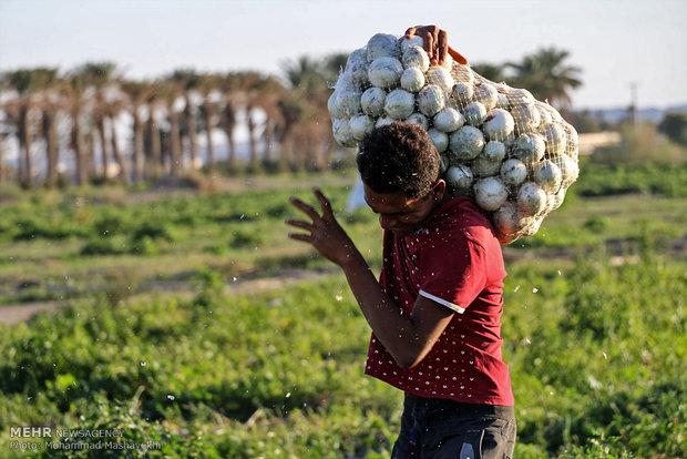 عواملی که باعث شد صدها تن پیاز کشاورزان از بین برود