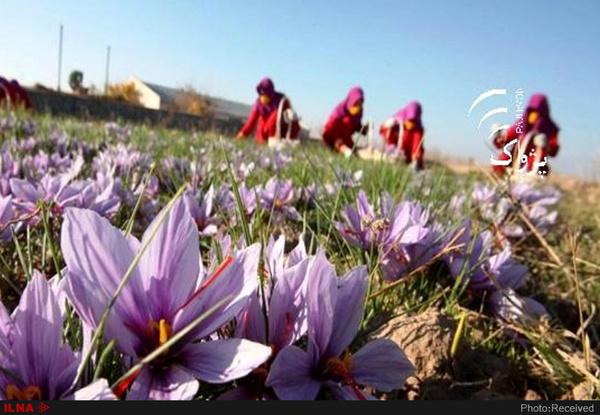 ۷۹ درصد زعفران به پنج کشور صادر شد