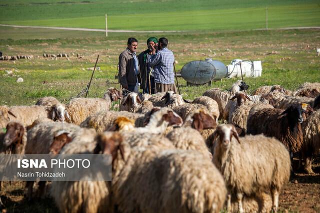 تامین ۱۰۰ هزار تن نهاده دامی برای عشایر/ راه اندازی ایستگاه های خرید دام عشایری