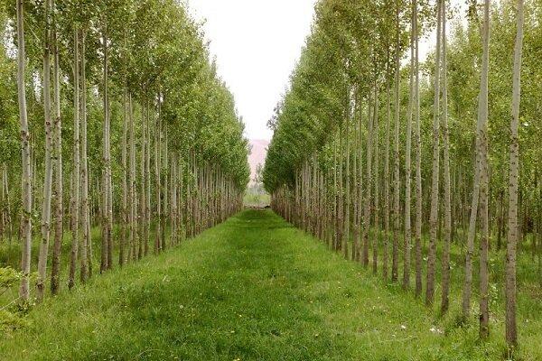 زراعت چوب در ۲۲ هزار هکتار از اراضی ملی و عرصههای طبیعی کشور