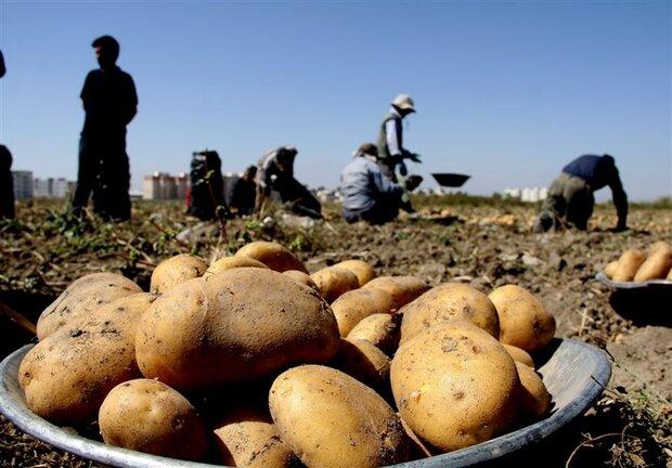 کیفیت تولید سیبزمینی در اردبیل بالاتر از میانگین جهانی است