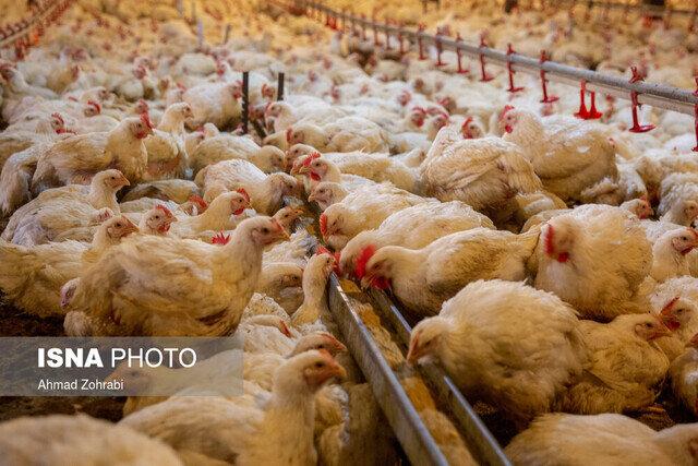 افزوده شدن یک میلیون و ۴۰۰ هزار قطعه به ظرفیت مرغداریهای خوزستان