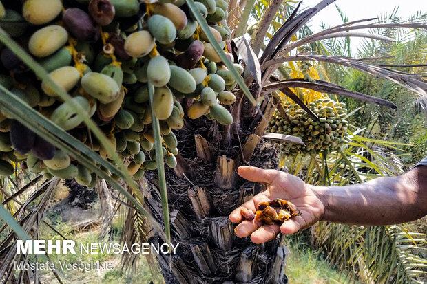 تنش آبی باعث کاهش ۳۰۰ هزار تنی محصول کشاورزی در خوزستان شد