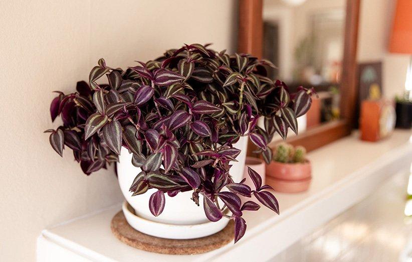 راهنمای کامل نگهداری، تکثیر و مراقبت از گیاه برگ بیدی