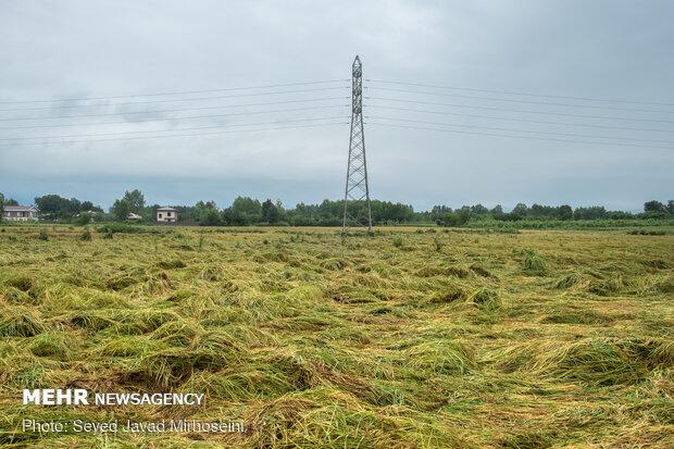 خسارت باران به شالیزارهای گلستان
