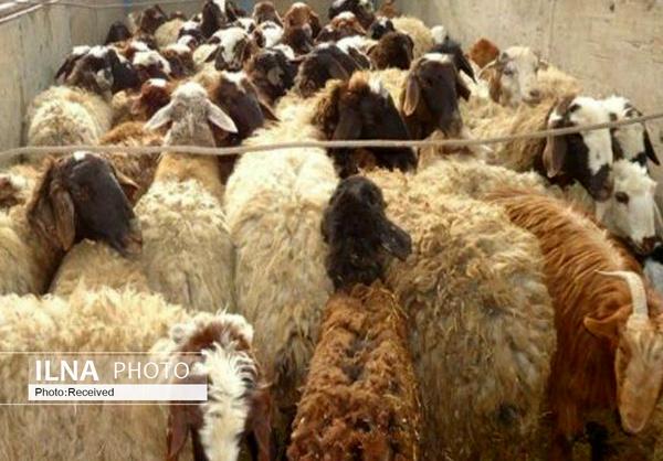 قیمت گوشت گوسفندی اعلام شد/ بسیاری از دامداران فروش دام را متوقف کردند/ کشورهای خلیج فارس دام مولد را خریداری میکنند
