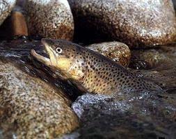 کاهش ۲۵ درصدی تولید ماهی قزلآلا به دلیل خشکسالی/ افت ۴۰ درصدی مصرف با افزایش قیمت/ این روزها ماهی خوراکی لوکس محسوب میشود