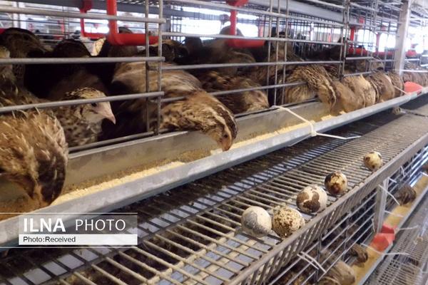 قیمت گوشت بلدرچین اعلام شد/ در ۷ ماه نخست سال هیچ صادراتی نداشتیم/ فعالیت ۵ هزار واحد متفرقه پرورش بلدرچین در کشور