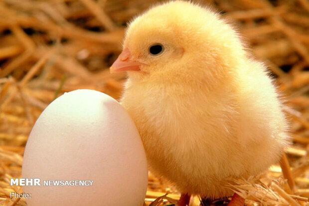قیمت تخم مرغ در میادین ۴۳ هزار تومان است /در مغازه؛ ۶۰ هزار تومان